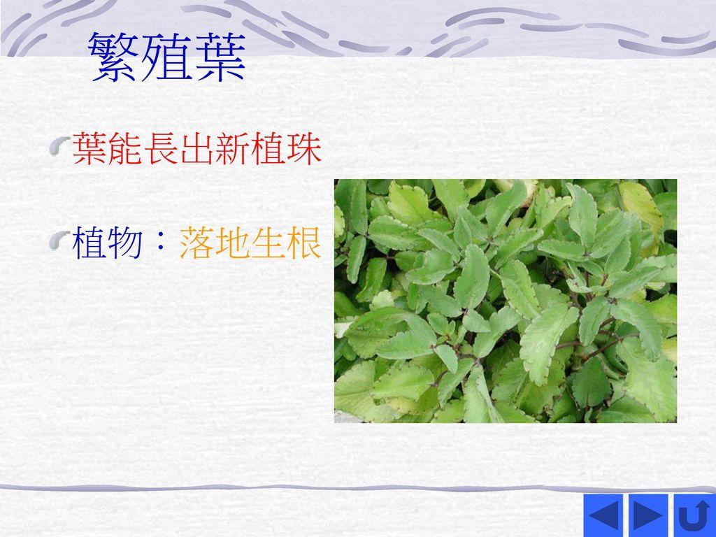 繁殖葉 葉能長出新植珠 植物:落地生根
