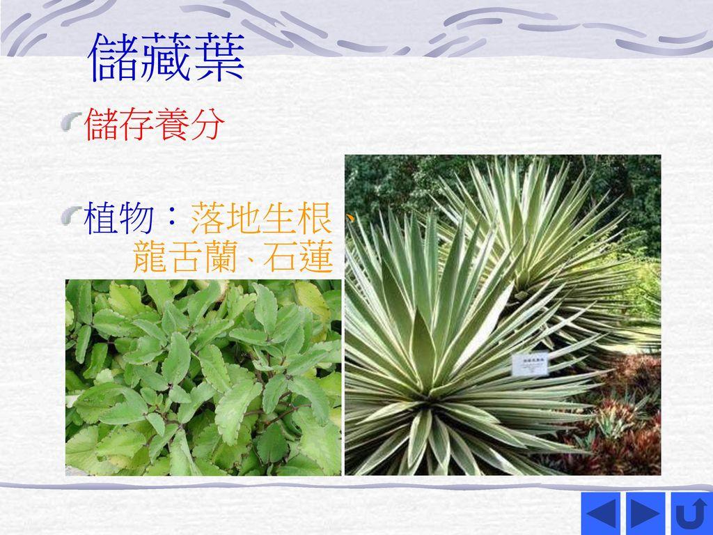 儲藏葉 儲存養分 植物:落地生根、 龍舌蘭、石蓮