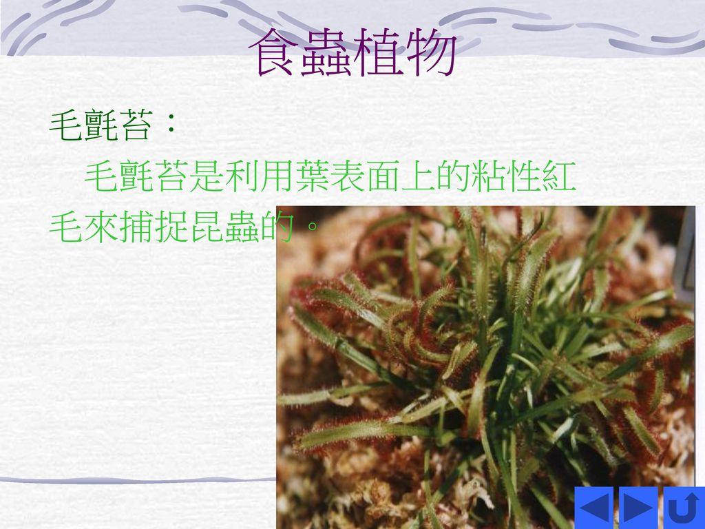 食蟲植物 毛氈苔: 毛氈苔是利用葉表面上的粘性紅毛來捕捉昆蟲的。