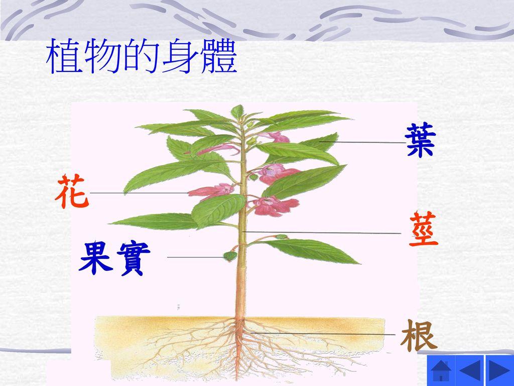 植物的身體 葉 花 莖 果實 根