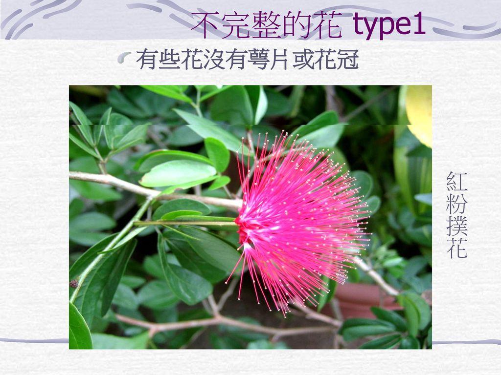 不完整的花 type1 有些花沒有萼片或花冠 紅粉撲花