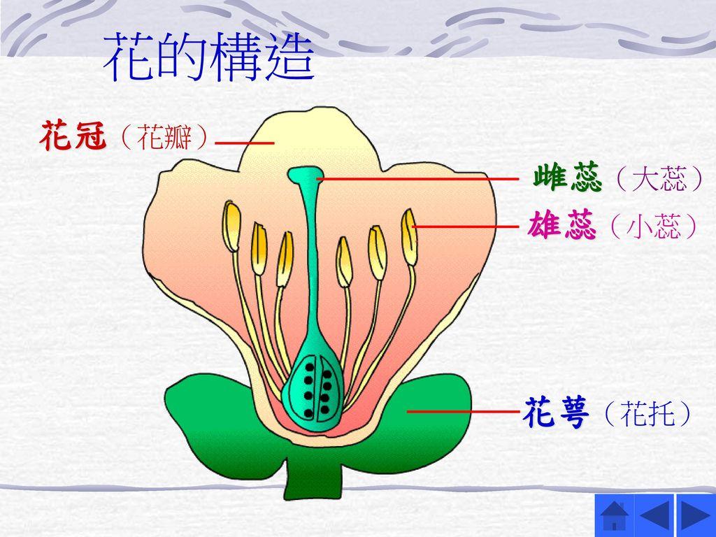 花的構造 花冠(花瓣) 雌蕊(大蕊) 雄蕊(小蕊) 花萼(花托)