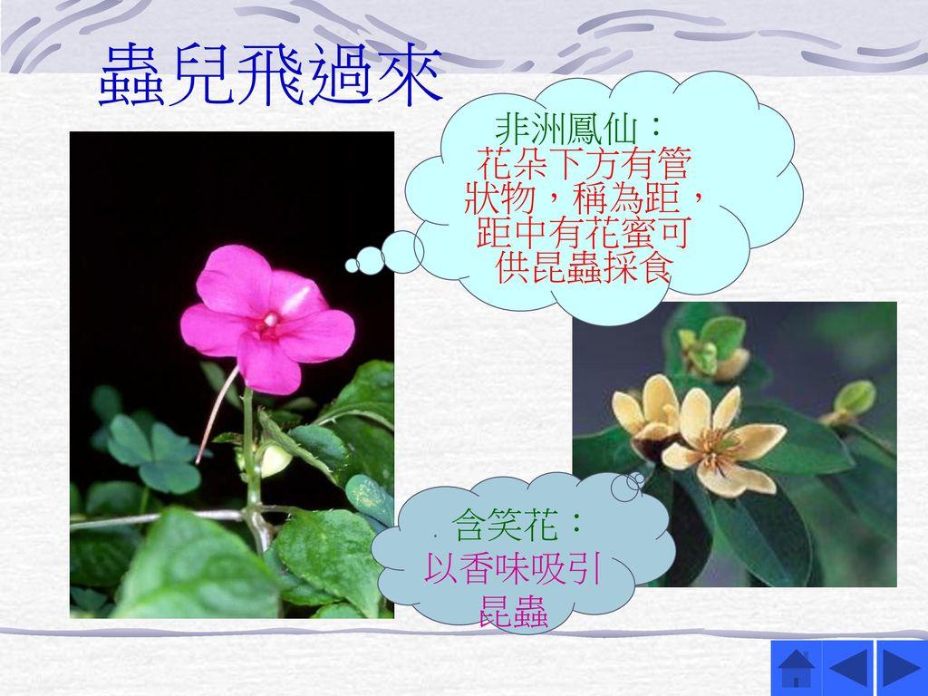 非洲鳳仙: 花朵下方有管狀物,稱為距,距中有花蜜可供昆蟲採食