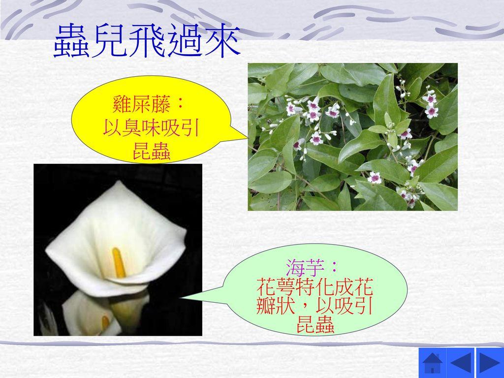 蟲兒飛過來 雞屎藤: 以臭味吸引昆蟲 海芋: 花萼特化成花瓣狀,以吸引昆蟲