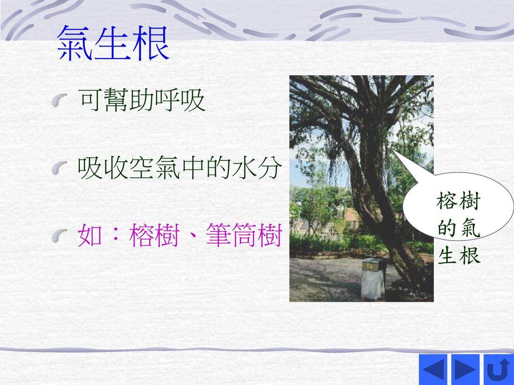 氣生根 可幫助呼吸 吸收空氣中的水分 如:榕樹、筆筒樹 榕樹的氣生根