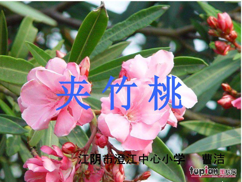 姨阴部小�_夹竹桃 江阴市澄江中心小学 曹洁.