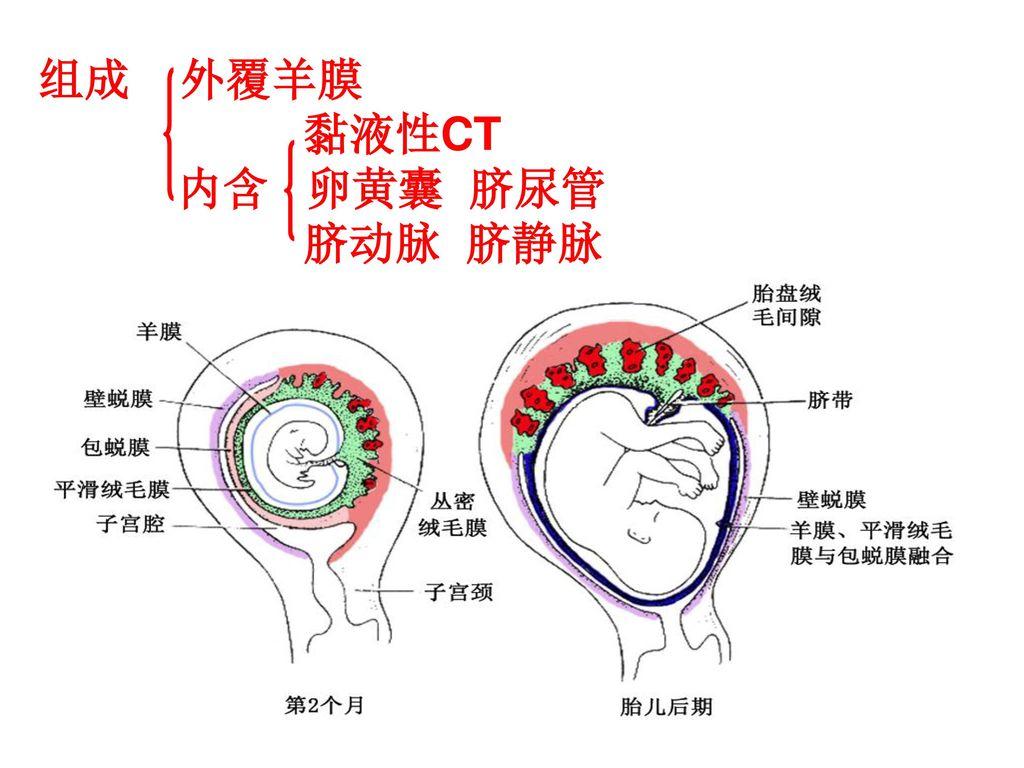 目的要求: (一)二胚层胚盘及相关结构形成(第2周) 1. 掌握二胚层胚盘的形成,上胚层 、下胚层 胚盘、卵黄囊 ...