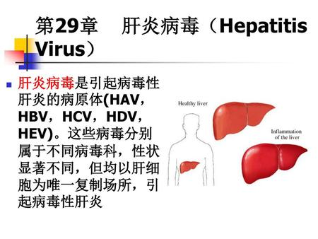 第29章 肝炎病毒(Hepatitis Virus)