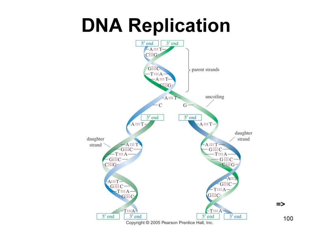 DNA Replication => Chapter 23