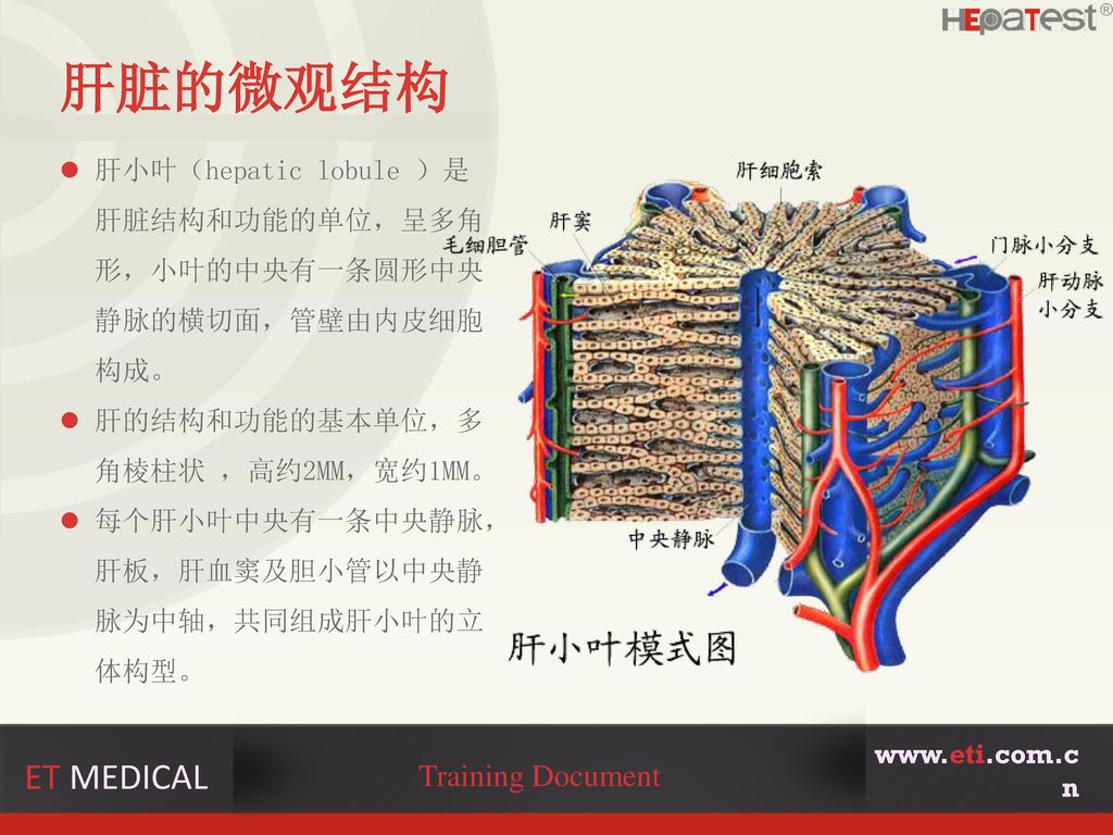 肝脏的微观结构 ET MEDICAL Training Document