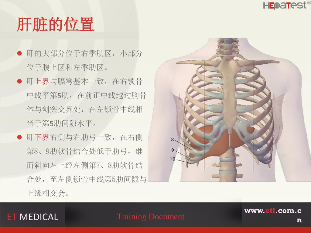 肝脏的位置 ET MEDICAL Training Document 肝的大部分位于右季肋区,小部分位于腹上区和左季肋区。