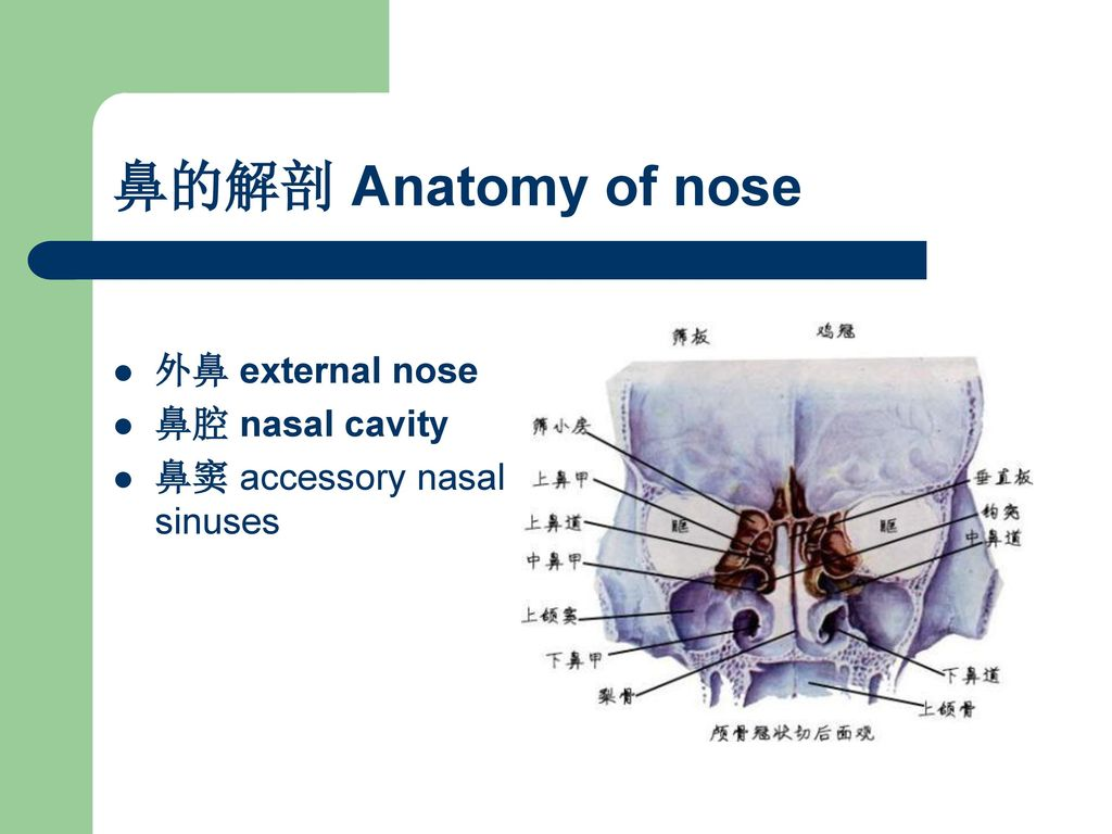 鼻的解剖 Anatomy of nose 外鼻 external nose 鼻腔 nasal cavity