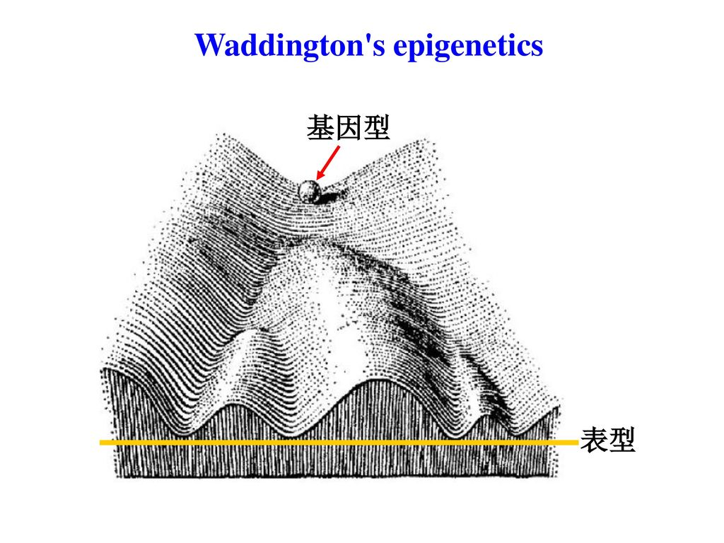 Waddington s epigenetics