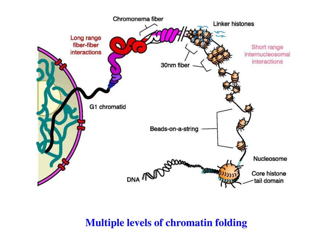 Multiple levels of chromatin folding
