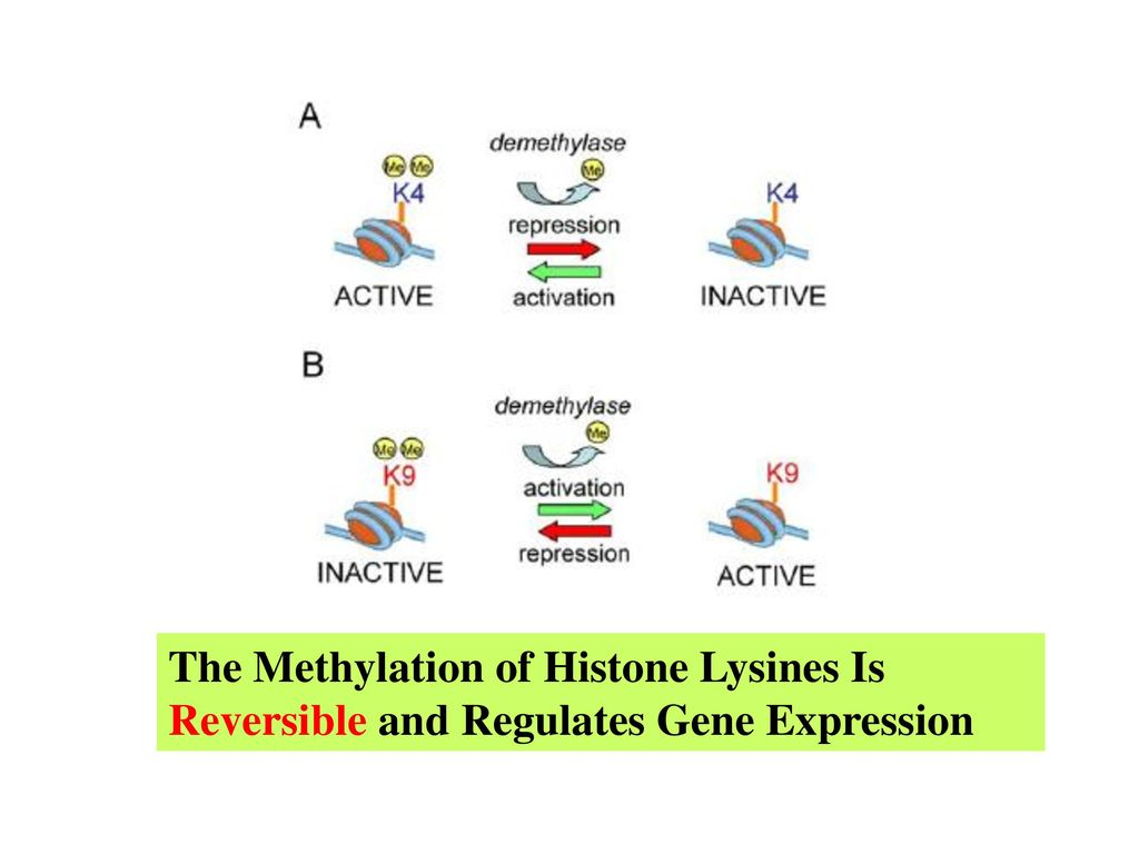 The Methylation of Histone Lysines Is Reversible and Regulates Gene Expression
