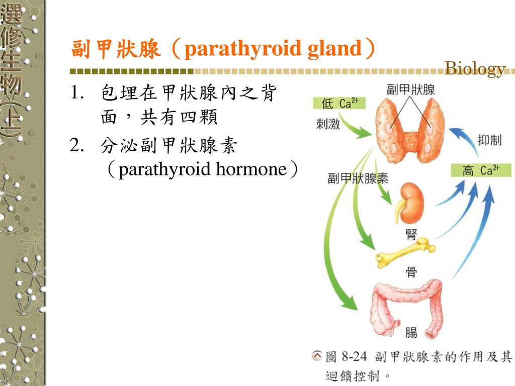 副甲狀腺(parathyroid gland)