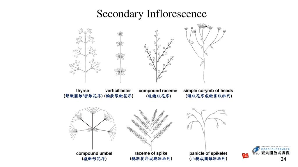 Secondary Inflorescence