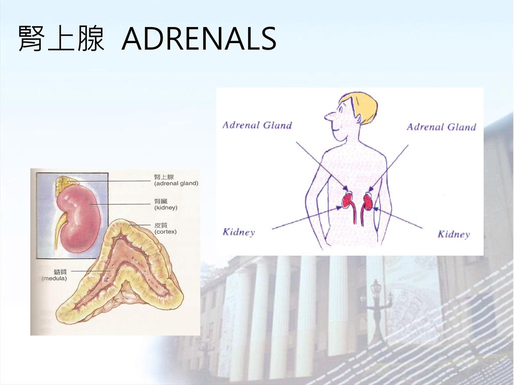 腎上腺 ADRENALS