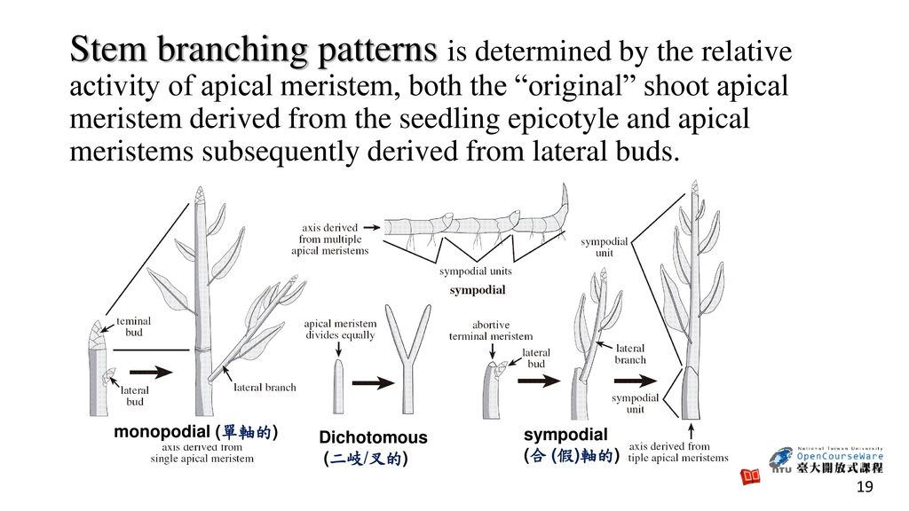 Stem branching patterns is determined by the relative activity of apical meristem, both the original shoot apical meristem derived from the seedling epicotyle and apical meristems subsequently derived from lateral buds.