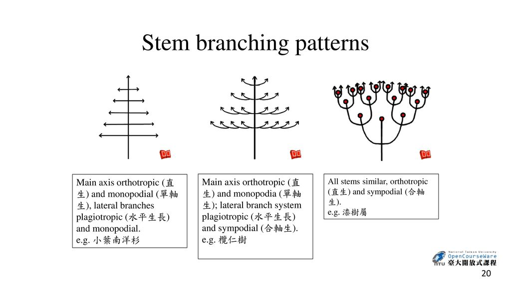Stem branching patterns