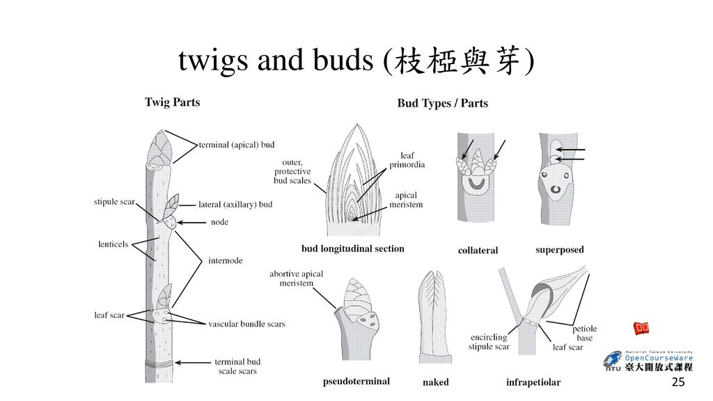 twigs and buds (枝椏與芽)