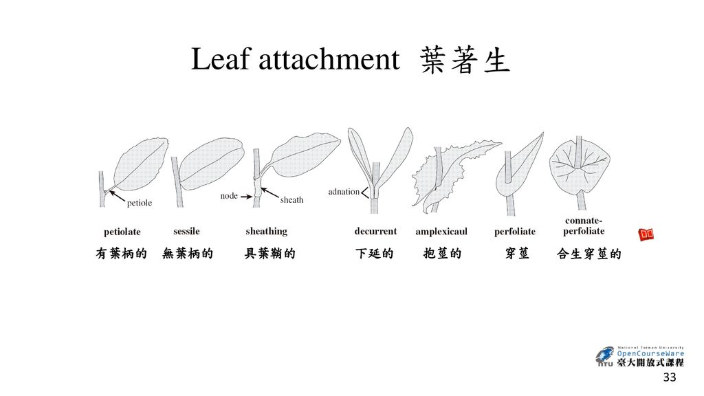 Leaf attachment 葉著生 有葉柄的 無葉柄的 具葉鞘的 下延的 抱莖的 穿莖 合生穿莖的