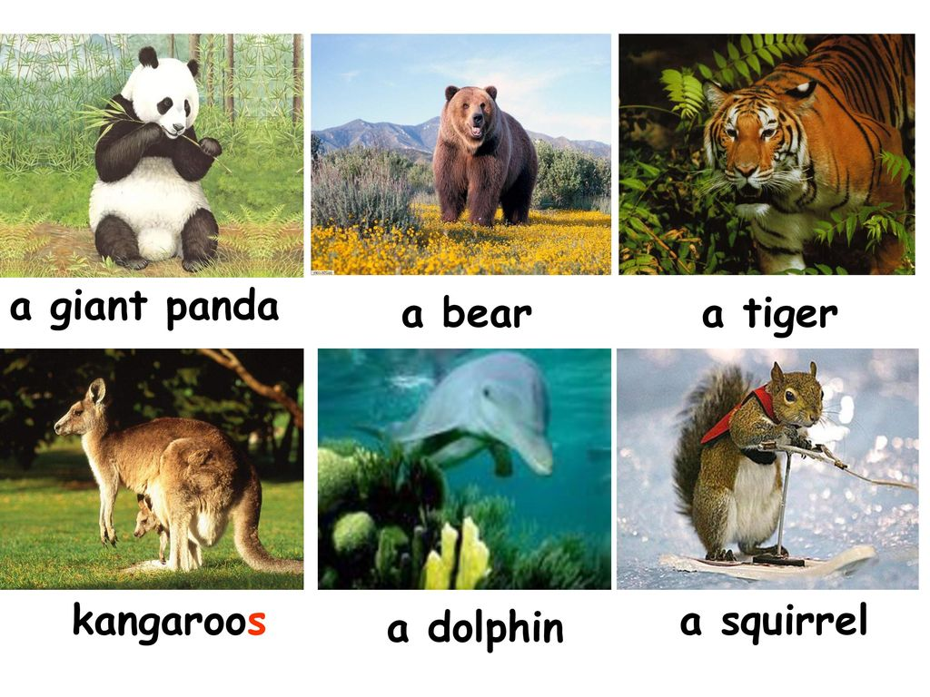 a giant panda a bear a tiger kangaroos a squirrel a dolphin