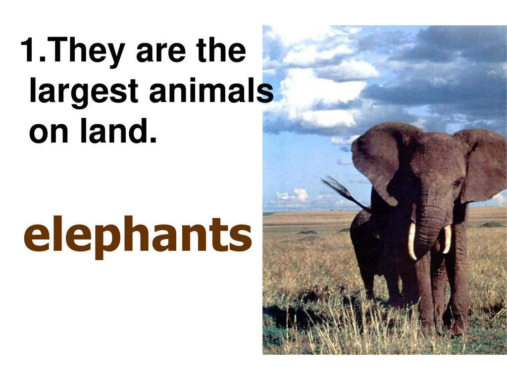 1.They are the largest animals on land. elephants