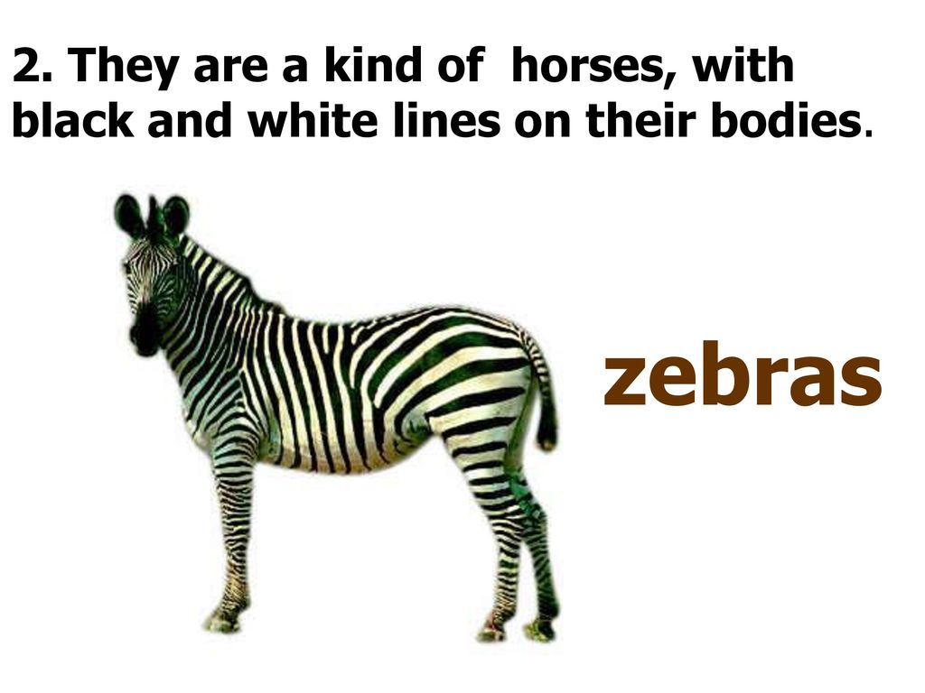 2. They are a kind of horses, with black and white lines on their bodies.